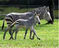 Zebra Kidani